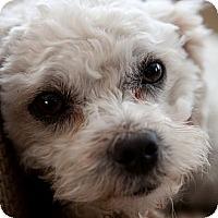 Adopt A Pet :: Dolly - La Costa, CA