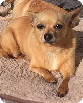 Chihuahua Dog for adoption in Fullerton, California - Gina