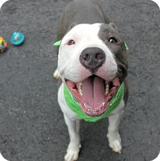 American Pit Bull Terrier Mix Dog for adoption in Ridgefield, Connecticut - Steele