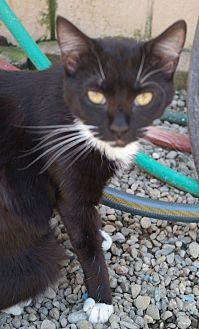 Domestic Shorthair Kitten for adoption in San Pablo, California - MISSY