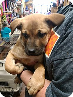 Labrador Retriever Mix Puppy for adoption in Covington, Tennessee - Haley