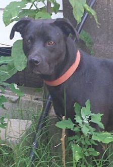 Labrador Retriever/American Pit Bull Terrier Mix Dog for adoption in Gaffney, South Carolina - Farley- Amazing boy!