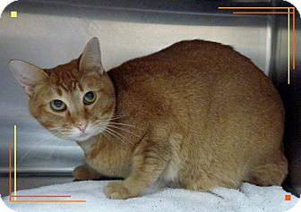 Domestic Shorthair Cat for adoption in Marietta, Georgia - MELOW