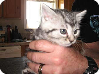 Domestic Shorthair Kitten for adoption in Fallon, Nevada - Brian
