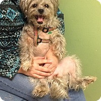 Shih Tzu/Yorkie, Yorkshire Terrier Mix Dog for adoption in Lawrenceville, Georgia - Mingki