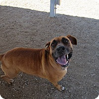 Adopt A Pet :: Chester - Sierra Vista, AZ