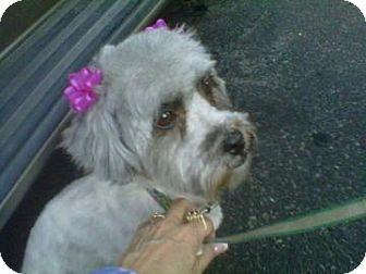 Poodle (Miniature) Mix Dog for adoption in Tucson, Arizona - Roxy