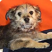 Adopt A Pet :: Bronco - Broomfield, CO