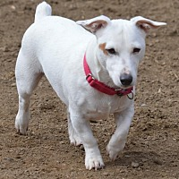 Adopt A Pet :: Patches - Blue Bell, PA