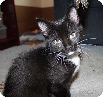 Domestic Shorthair Kitten for adoption in Merrifield, Virginia - Delilah