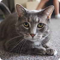 Domestic Shorthair Cat for adoption in St. Catharines, Ontario - Ted