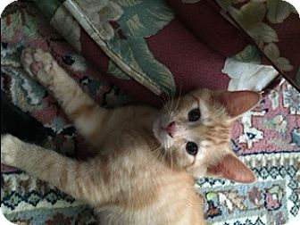 Domestic Shorthair Kitten for adoption in Kennedale, Texas - Gibson