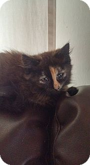Domestic Mediumhair Kitten for adoption in Monterey, Virginia - Lucy Rose $35 special