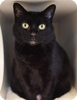 Domestic Shorthair Cat for adoption in Reisterstown, Maryland - Silly