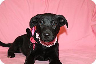 Rottweiler Mix Puppy for adoption in Burlington, Vermont - Diamond
