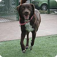 Adopt A Pet :: Koko - Henderson, NV