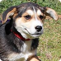 Adopt A Pet :: Apache - Bedford, VA