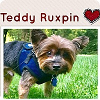 Yorkie, Yorkshire Terrier Dog for adoption in Fairfax, Virginia - Teddy Ruxpin