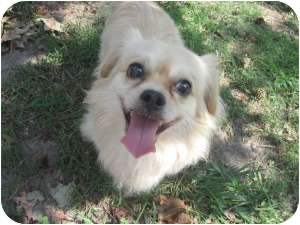 Pekingese/Pomeranian Mix Dog for adoption in Chesapeake, Virginia - Fuji