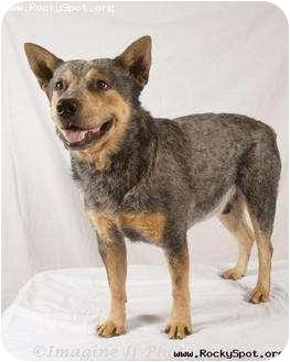 Australian Cattle Dog Mix Dog for adoption in Newcastle, Oklahoma - Carl