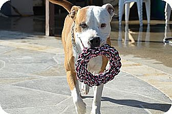 Mastiff/Staffordshire Bull Terrier Mix Dog for adoption in Lucerne Valley, California - DOZER