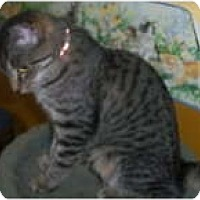 American Shorthair Kitten for adoption in Medford, New York - Tiger