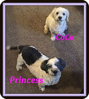 Shih Tzu/Cocker Spaniel Mix Dog for adoption in Georgetown, Kentucky - Princess and CoCo