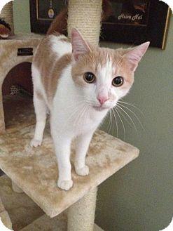 Domestic Shorthair Cat for adoption in Redlands, California - Dutch