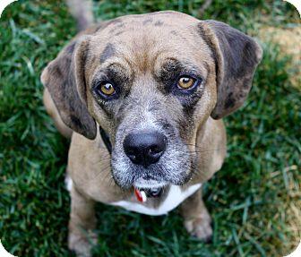 Beagle/Catahoula Leopard Dog Mix Dog for adoption in Bellflower, California - Wesley