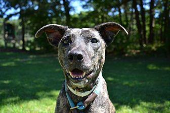 Plott Hound Mix Dog for adoption in Brookhaven, New York - Litta