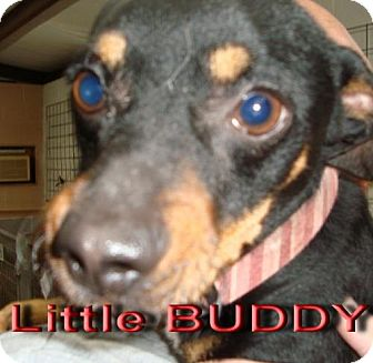 Chihuahua Mix Puppy for adoption in Coleman, Texas - Little Buddy