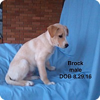 Adopt A Pet :: Brock-pending adoption - Manchester, CT