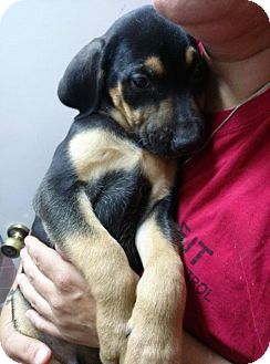 Black and Tan Coonhound/Labrador Retriever Mix Puppy for adoption in South Jersey, New Jersey - Cubone