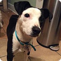 Adopt A Pet :: Silly - Nashville, TN
