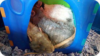 Rat for adoption in Cambridge, Ontario - Paulie/Splinter/Hoodrat