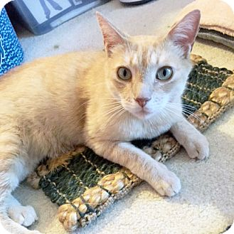Domestic Shorthair Cat for adoption in Arlington/Ft Worth, Texas - Kenneth