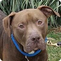 Labrador Retriever/Pit Bull Terrier Mix Dog for adoption in Monroe, Michigan - Nestle