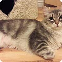 Adopt A Pet :: Ivory - Davis, CA