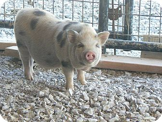 Pig (Potbellied) for adoption in Georgetown, Kentucky - Skippy