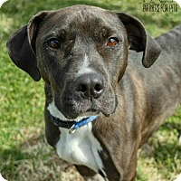Adopt A Pet :: PeeWee NKA Nitro - Troy, IL