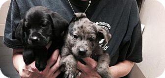 Cattle Dog/Labrador Retriever Mix Dog for adoption in Westminster, Colorado - Holstein