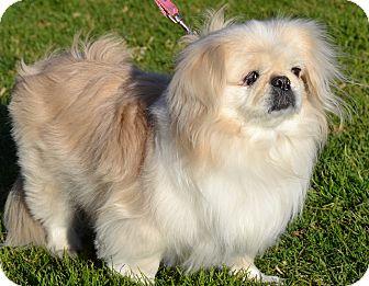 Pekingese Dog for adoption in Simi Valley, California - Sugar