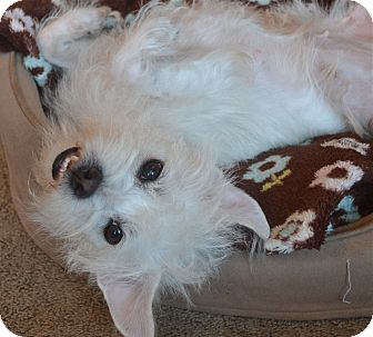 Maltese/Westie, West Highland White Terrier Mix Dog for adoption in Los Angeles, California - Chloe