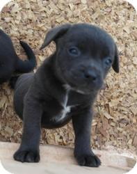 Labrador Retriever/Weimaraner Mix Puppy for adoption in Seneca, South Carolina - Cammie