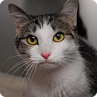 Adopt A Pet :: Callie - Lunenburg, MA