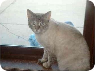 Siamese Cat for adoption in Grand Rapids, Michigan - Chloe