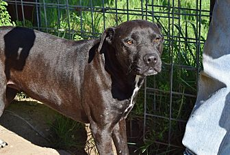 Labrador Retriever/Bull Terrier Mix Dog for adoption in Iola, Texas - Faith
