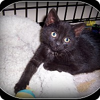 Domestic Shorthair Kitten for adoption in South Plainfield, New Jersey - Jenna