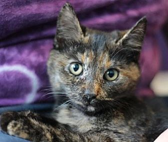 Domestic Shorthair Cat for adoption in Raleigh, North Carolina - Phoenix