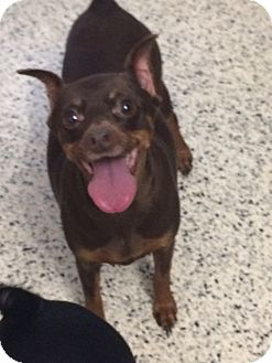 Miniature Pinscher Mix Dog for adoption in St. Louis, Missouri - Duchess